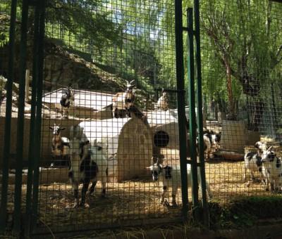 Peña Escrita, goats