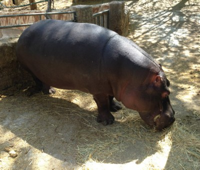 Peña Escrita, hippo