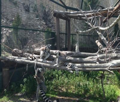 Peña Escrita, lemurs