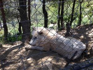 A white wolf at Peña Escrita