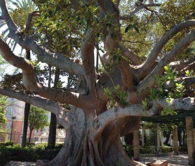 A big tree in Cadiz
